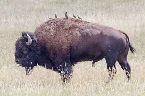 Bison Friend.jpg - Pics for you