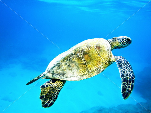 Turtle Underwater.jpg - Pics for you