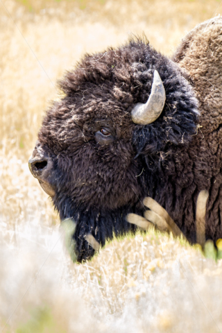 Bison Head.jpg - Pics for you